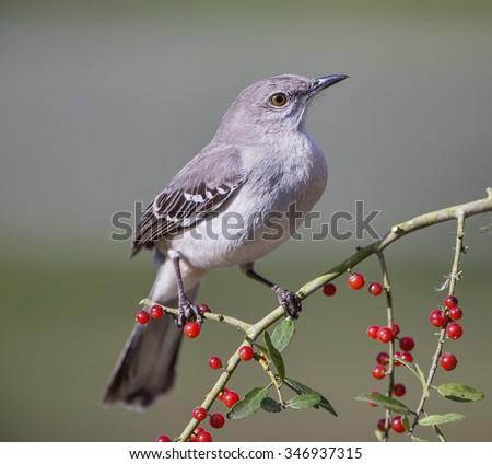 Northern Mockingbird on Berry Laden Branch