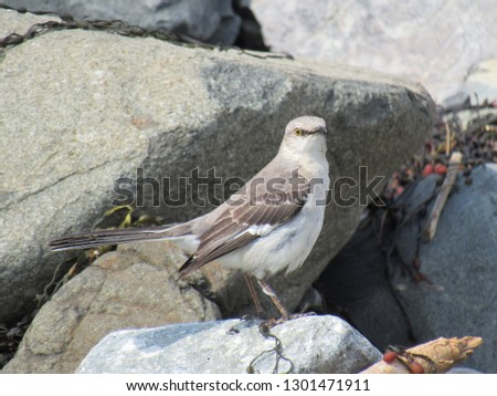 Northern Mockingbird on the Southern Maine Coast in Summer