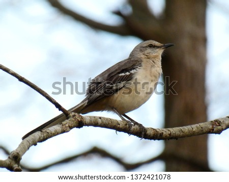 Northern Mockingbird perched in tree