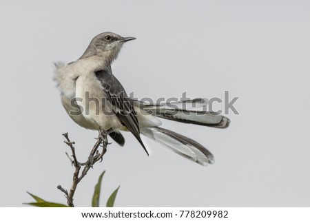 Northern Mockingbird perched on branch