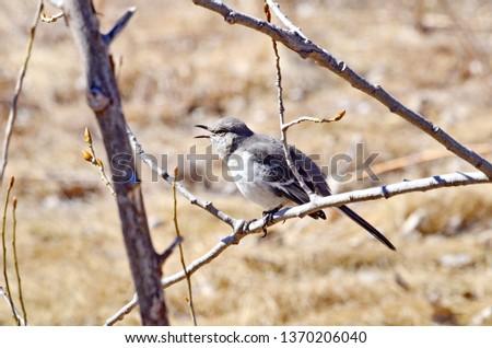 Northern Mockingbird sitting in tree