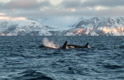 northern norway male orca/killer whale and baby breaching in front of snowy mountainous landscape