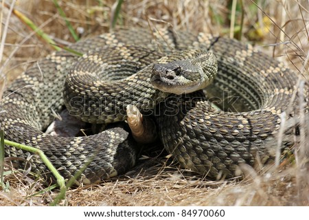 Northern pacific rattlesnake (Crotalus oreganus) in California