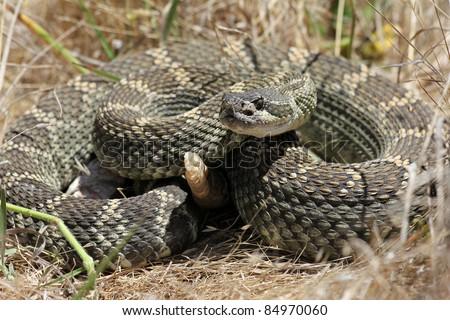 Northern pacific rattlesnake (Crotalus oreganus) in California