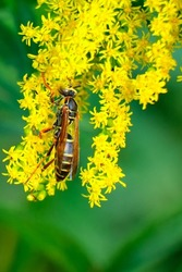 Northern paper wasp clings from yellow wildflowers