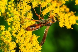 Northern paper wasp pollinates yellow wildflowers