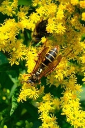 Northern paper wasp shares the yellow wildflowers with a few other insects