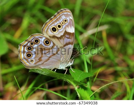 Northern Pearly Eye Butterfly (Enodia anthedon) on field grass.