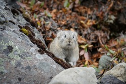 Northern pika (Ochotona hyperborea). A small animal in the tundra looks curiously and cautiously from behind the rocks. Wildlife of the Arctic and polar region. Nature of Chukotka and Siberia. Russia.