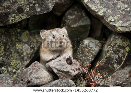 Northern pika (Ochotona hyperborea). Pika among the stones covered with lichen. A small, curious animal looks out from cover. Wildlife of the Arctic. Nature and animals of Chukotka. Siberia, Russia. Zdjęcia stock ©