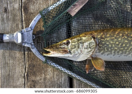 Northern Pike ( Esox Lucius ) captured in a landing net #686099305