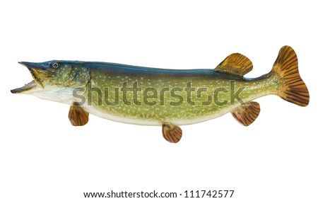 Northern pike isolated on white - stock photo