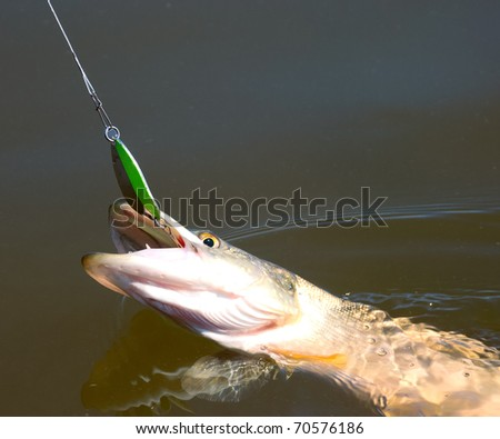 northern pike pecked on a spoon lure