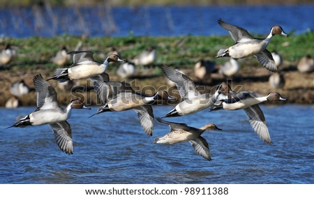 Northern Pin-Tail Ducks Flying in Formation