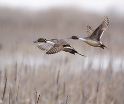 Northern Pintail Drakes in flight over cattails, taking off on the flush; duck hunting / wingshooting; Klamath Falls Wildlife Refuge, on the California / Oregon border