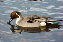Northern pintail male duck, having a sip of water in Burnaby Lake, British Columbia, Canada. Beautiful bird with stunning feathers