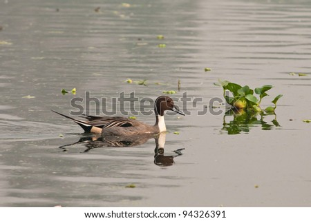 Northern Pintail male swimming in a lake