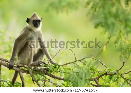 Northern plains gray langur (Semnopithecus entellus) is a species of primate in the family Cercopithecidae. It is found in India on the lowlands north