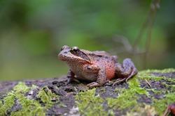 Northern Red-legged Frog (Rana aurora), Vancouver Island, BC, Canada