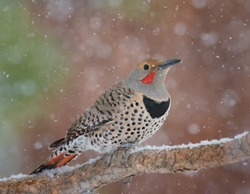 Northern Red-shafted Flicker on branch in falling snow