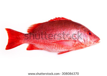 Northern Red Snapper fish Lutjanus campechanusfish isolated on a white background.