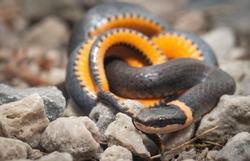 Northern Ringneck snake showing orange ventral belly