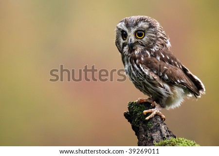 Northern Saw-Whet Owl against a blurred background.