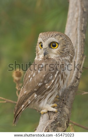 Northern Saw-whet owl, one of smallest owls, perching in the wild. Very close up, shallow depth of field. Sitting still, pretending he is not there. Latin name - Aegolius acadicus.