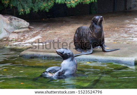 Northern seals swim in the water, resting on the shore. Marine animals, mammals, ecology.