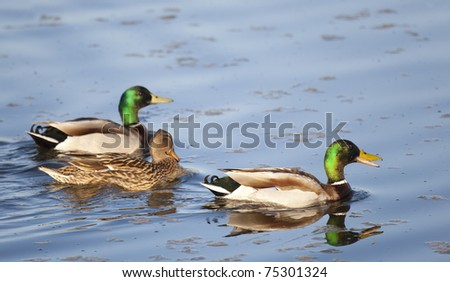 Northern Shoveler , Salburua, Vitoria, Alava, Spain