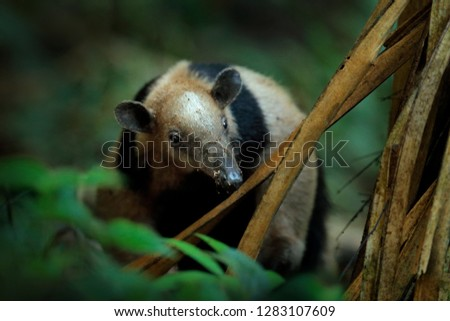 Northern tamandua, Tamandua mexicana, wild anteater in the nature forest habitat, Corcovado NP, Costa Rica. Wildlife scene from tropic junge forest. Anteater with long muzzle and big ear.