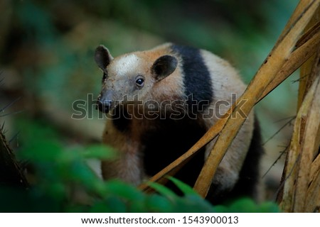 Northern tamandua, Tamandua mexicana, wild anteater in the nature forest habitat, Yucatan, Mexico. Wildlife scene from tropic jungle forest. Anteater with long muzzle and big ear.