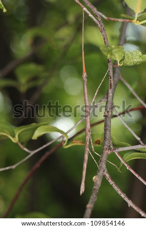 Northern Walking Stick (Diapheromera femorata) Concealed on a Tree Branch - Ontario, Canada #109854146