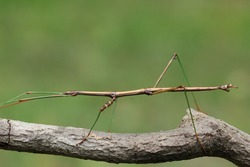 Northern Walking Stick (Diapheromera femorata) Perched on a Tree Branch - Ontario, Canada