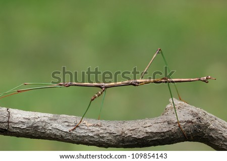 Northern Walking Stick (Diapheromera femorata) Perched on a Tree Branch - Ontario, Canada #109854143