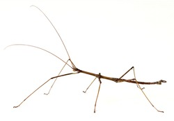 Northern Walkingstick Insect (Diapheromera fermorata)