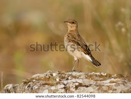 Northern Wheatear perched (Oenanthe oenanthe)