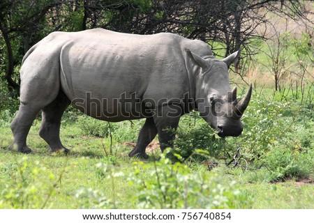 Northern White rhinoceros, Ceratotherium simum cottoni, Matopos National Park, Zimbabwe