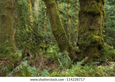 Northwest Rainforest - Washington State Olympic National Park, USA. Mossy  Rainforest Scenery. Washington State Photo Collection.