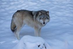 northwestern wolf portrait in winter