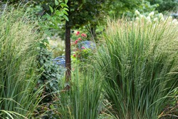 Northwind ornamental grasses, Pillars of olive blue-green blades provide strong vertical form - great as an accent or in a row for screening provide privacy in this suburban garden