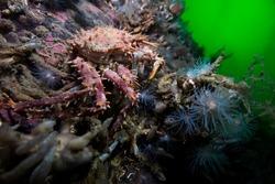 Norway king crab Lithodes maja in swedish fjord