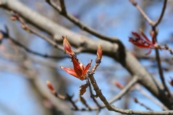 Norway maple Crimson King branches with buds - Latin name - Acer platanoides Crimson King