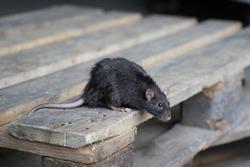norway rat, rattus norvegicus, sitting on a wooden pallet