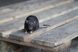 norway rat, rattus norvegicus, sitting on a wooden pallet and looking into the camera