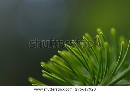 Norway spruce leaves macro shot.