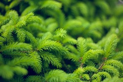 Norway spruce - Picea abies or European spruce new needles. Natural coniferous background texture. Selective focus blur.