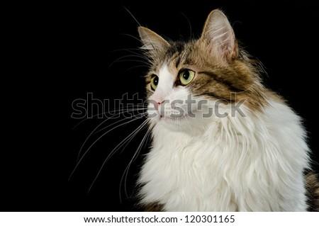 Norwegian cat against black background - stock photo