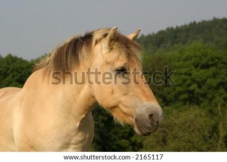 Norwegian / Fjord Horse