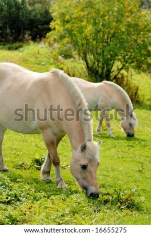 Norwegian fjord horses at pasture - stock photo